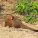 Ruddy Mongoose (David Allison)