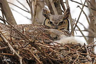 Peeking Out - Great-horned Owl and Chick - 5978b+sg