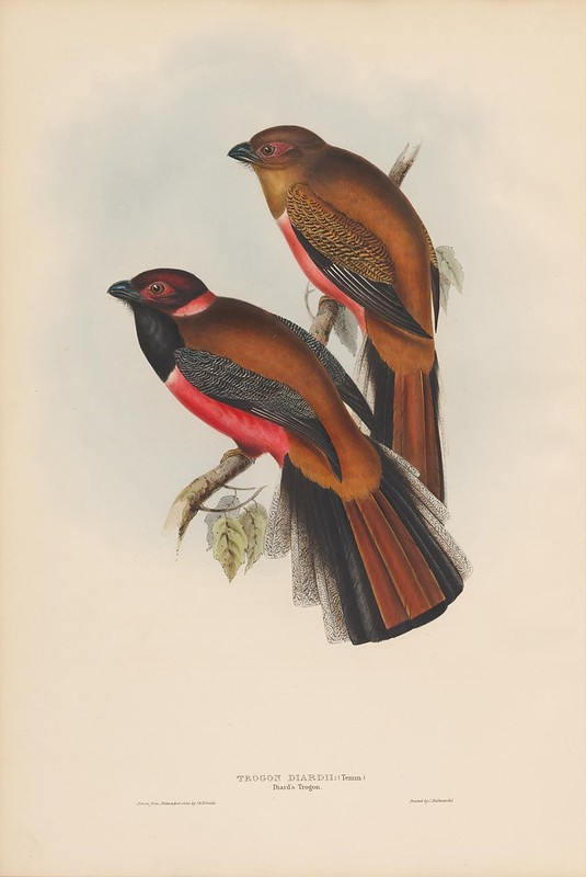1830s bird lithograph by J gould