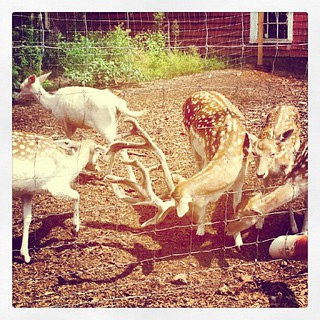 #deer at Smolak Farm