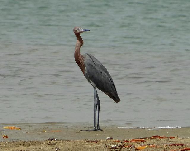 Garza Rojiza [Reddish Egret] (Egretta rufescens) (Morfo oscuro [Dark morph])