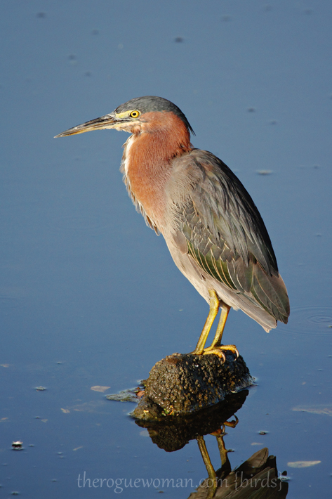 072312_03_bird_greenHeron02
