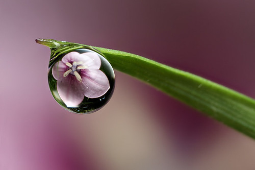 balloon flower dewdrop refraction #2