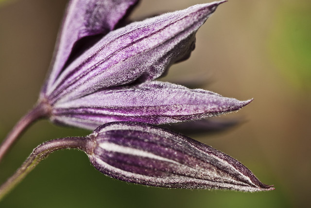 clematis buds