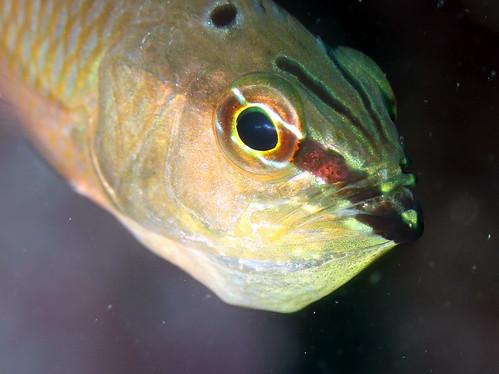 イシモチの口内保育
