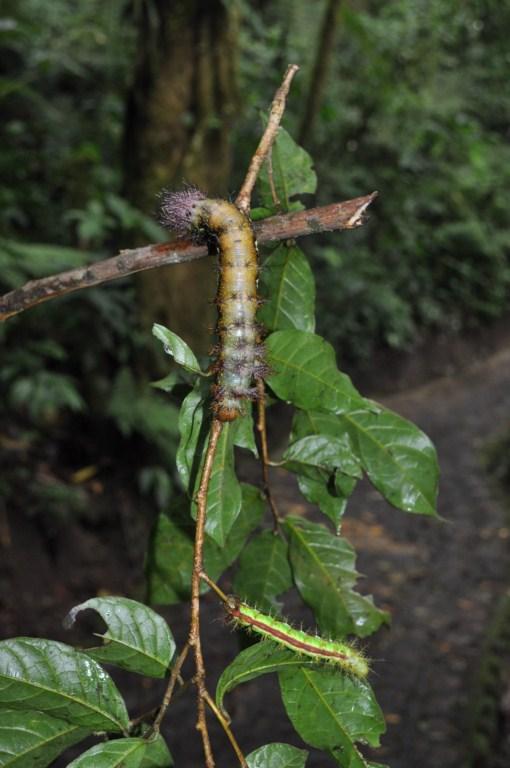 Las orugas de las fotos tienen 1cm de grosor y sobre 5cm de longitud monteverde, la reserva biológica del bosque nuboso - 7735191970 8b9c03ce90 o - Monteverde, La reserva biológica del bosque nuboso