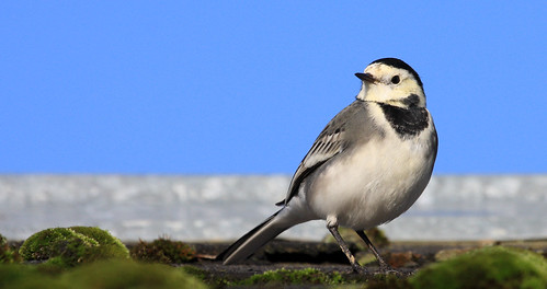 blue sky irish bird nature birds animal moss wings wildlife bluesky aves birdwatching piedwagtail wagtail whitewagtail motacillaalba irishwildlife irishbirds thewonderfulworldofbirds natureinireland