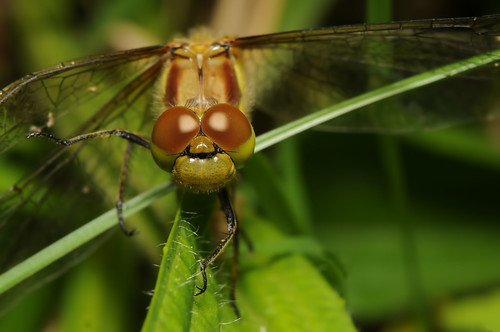 Common Darter 3 by Andy Pritchard - Barrowford