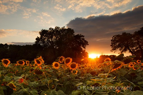 sunset sunflowers pointofrocks rockypointcreamery