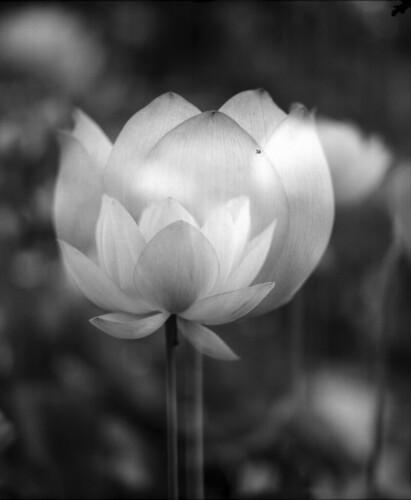lotus 2012