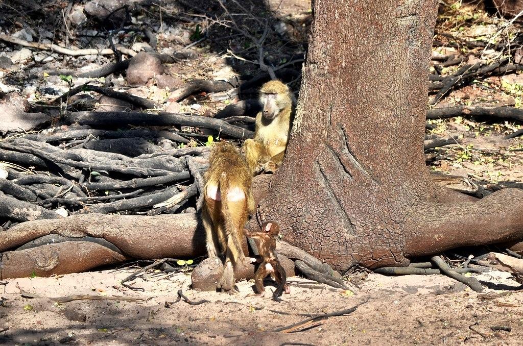 Baboons Zambezi Queen