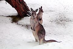cougar(0.0), puma(0.0), animal(1.0), marsupial(1.0), mammal(1.0), kangaroo(1.0), fauna(1.0),
