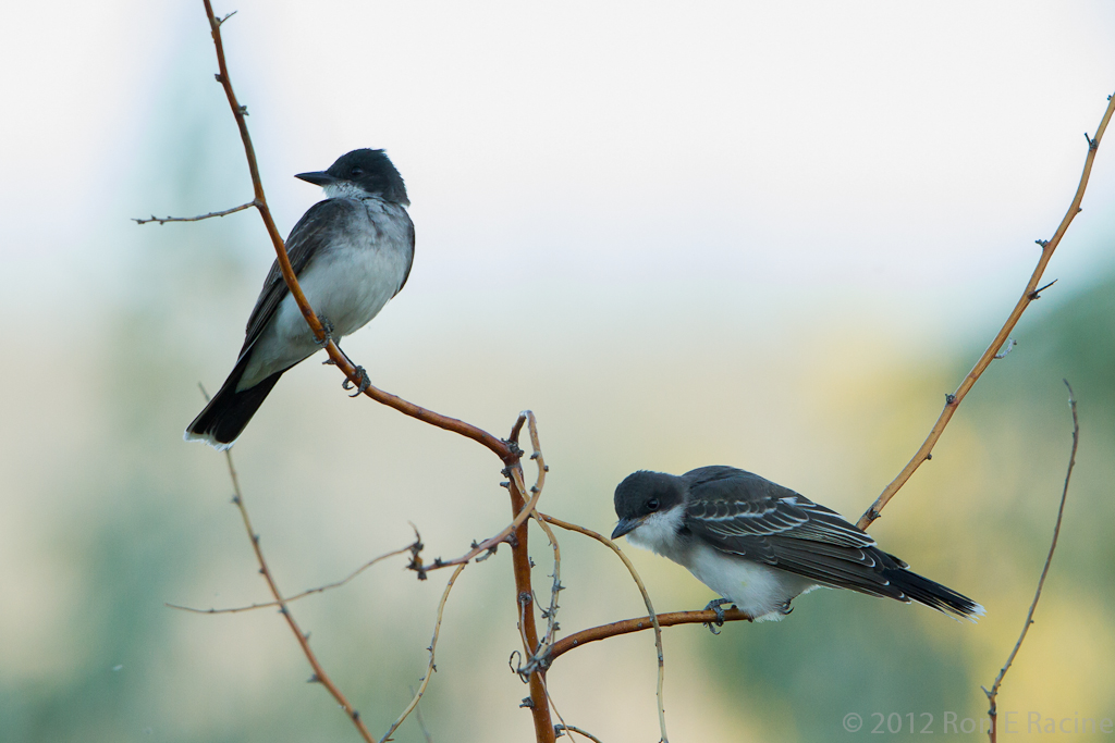 Eastern Kingbird III