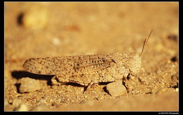 Mourning Cloak Grasshopper (Dissosteira carolinus)