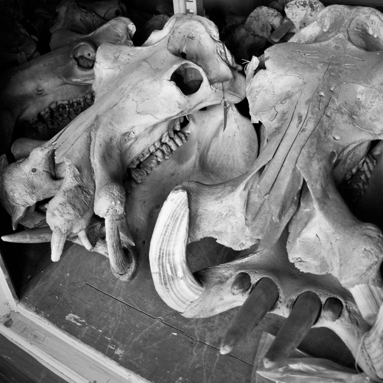 Some of the biggest skulls in the collection are the hippo skulls. There are a lot of them too.