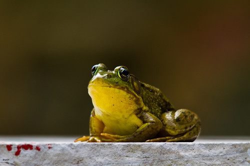 Portrait of a Prince (Frog) Riverwood Park Mississauga Ontario Canada by gashphoto