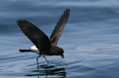 Eliots storm petrel Pelagic birding with Nature Expeditions in Peru