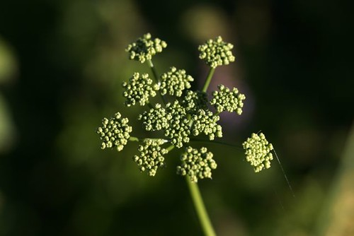 Parsley gone to flower