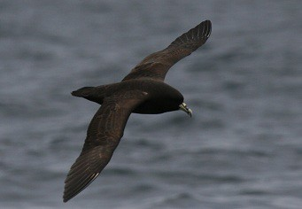 White chinned petrel Pelagic birding in Peru with Nature Expeditions