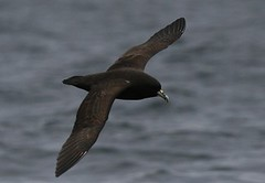 White chinned petrel - Pelagic birding in Peru with Nature Expeditions