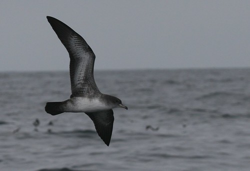 Pink-footed shearwater Pelagic birding in Peru with Nature Expeditions