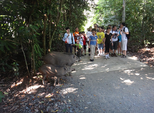 Visitors encounter Wild boar (Sus scrofa) at Chek Jawa