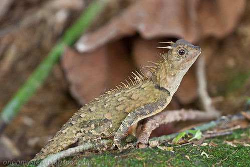 <i>Acanthosaura armata</i>, Horned tree lizard. IMG_8814 copy