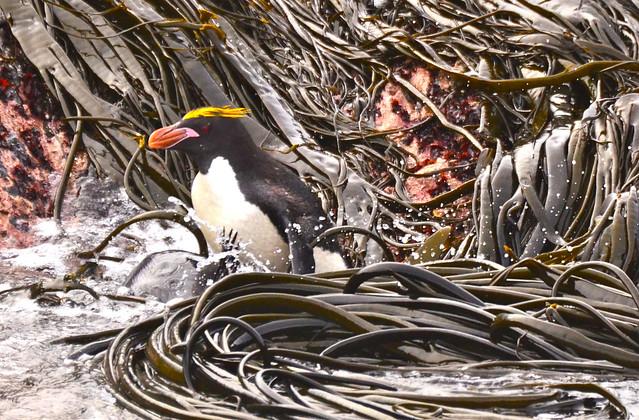 macaroni penguin in spaghetti kelp
