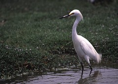 Snowy egret - Birding in Peru with Nature Expeditions