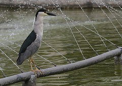 Black-crowned night-heron - Birding in Peru with Nature Expeditions