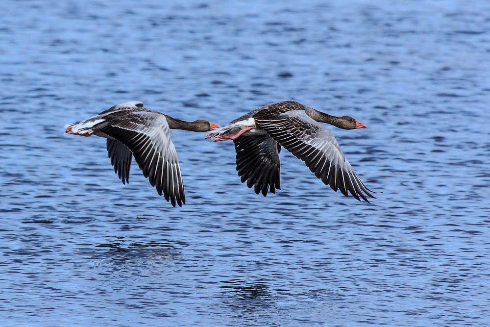 Birds of Bornholm:  Greylag Goose