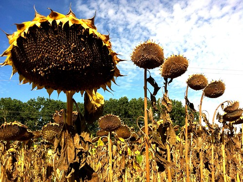 There's something sinistre about dried out sunflowers