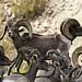 02469230-79-Desert Bighorn Sheep-9