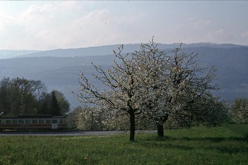Mörigen | CH-BE (Bern) | 24.04.1980 | Cherry trees with BTI-Be 4/4