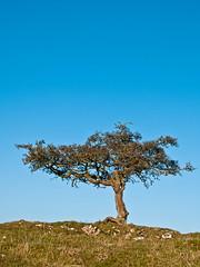 Lone Hawthorn 2