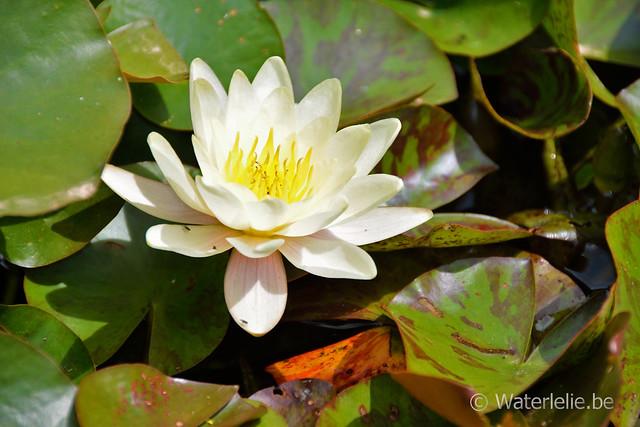 Waterlelie Mandarin / Nymphaea Mandarin
