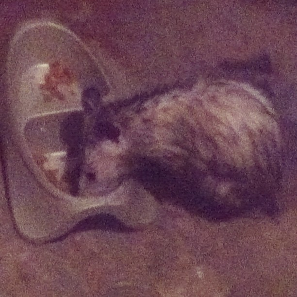 Ewwwwwww!! No wonder my cats are always hungry!! This creepy possum keeps eating all their food!! Just busted him!! I'm getting my gun ready for the next time I catch him!