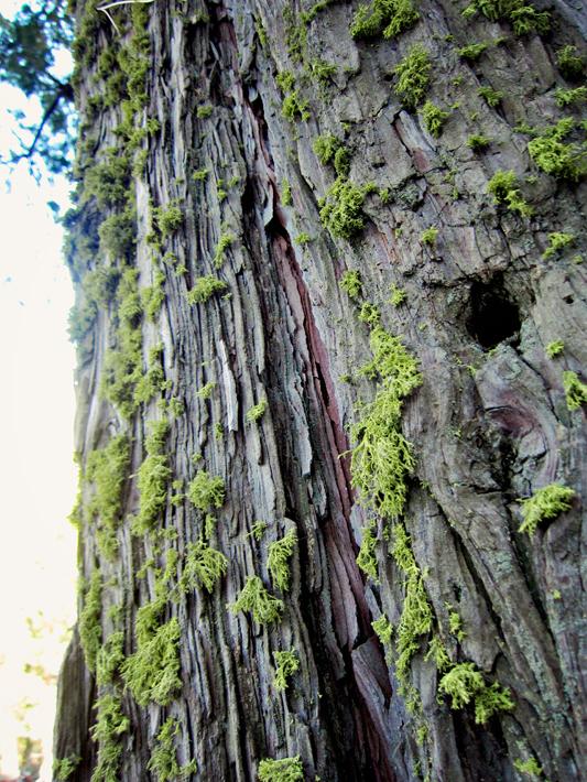 063012_sequoia