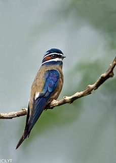 Whiskered Treeswift (Male) - Hemiprocne comata (1)