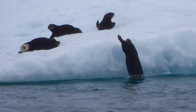 sea otters on the ice