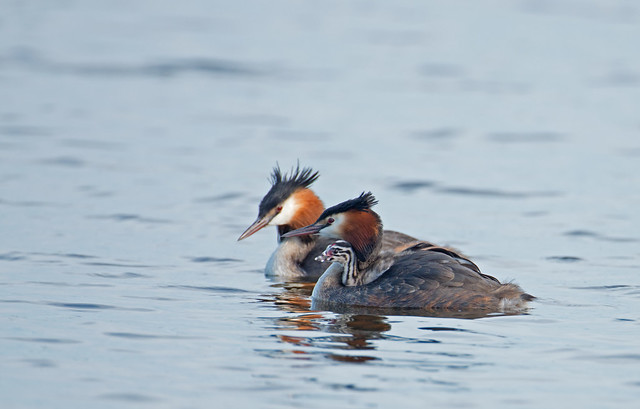 PAIR OF GREAT CRESTED GREBES Podiceps cristatus WITH CHICK
