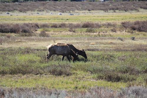 Elk Pair