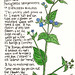 Weeds of St Leonards Nº 3: Green Alkanet by EricaStLeonards