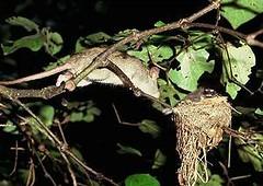 入侵種老鼠侵襲紐西蘭扇尾鴿的巢(照片由David Mudge拍攝)