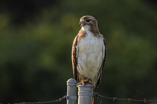 Red-tailed Hawk_1233.jpg