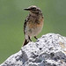 Water Pipit (Andrew Cleave)