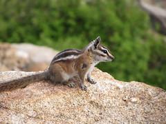wallaby(0.0), grey fox(0.0), fox(0.0), kit fox(0.0), animal(1.0), squirrel(1.0), mammal(1.0), fauna(1.0), chipmunk(1.0), wildlife(1.0),