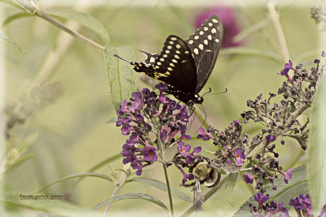 Buttlerfly Summer V