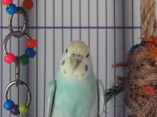 Seagrass cute budgie girl 5