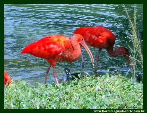 Guará Ibis Rubra Pássaro Vermelho Amazônico floresta agua norte Bicho da Amazônia celcoimbra Belém Pará Brasil América do Sul Terra Fauna Amazônica Eudocimus ruber Ecologia  3